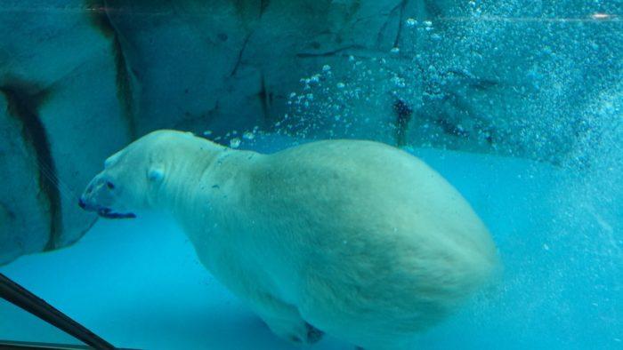 男鹿水族館GAOのシロクマ(ホッキョクグマ)のエサやりのときの泳ぎ。たくさんの泡を引き連れて豪快に泳いでいる。名前は豪太。